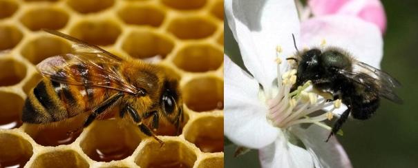 Honey bee and mason bee
